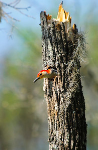 Red-bellied Woodpecker © Sparkle Clark