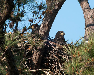 Bald Eaglets, closer view © Sparkle Clark