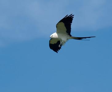Swallow-tailed Kite © Sparkle Clark