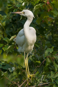 Little Blue Heron fledgling  © Sparkle Clark