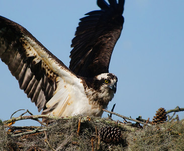 Osprey on Nest © Sparkle Clark