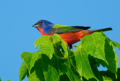 Painted Bunting © Sparkle Clark