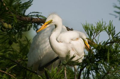 Great Egret Fledglings  © Sparkle Clark