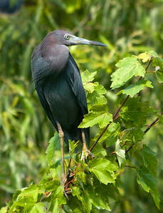 Little Blue Heron © Sparkle Clark