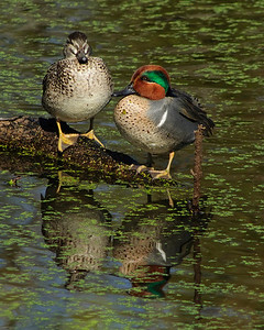 Green-winged Teal pair © Sparkle Clark