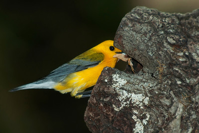 Prothonotary Warbler bringing food to the nest © Sparkle Clark