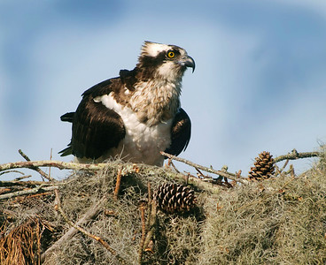 Osprey on Nest II © Sparkle Clark