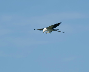 Swallow-tailed Kite with junebug © Sparkle Clark