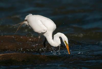 Great Egret Diving for fish © Sparkle Clark