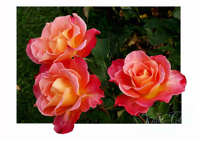 PICT0382three roses8x12