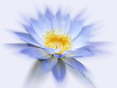 PR Trophy M Kath Gillies Lilac Lily