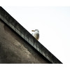 Seagull on a roof.
