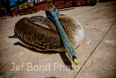 Pelican Squater