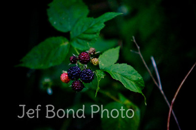 Pennsylvania Black Berries