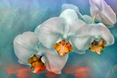 (F78) Phalaenopsis Orchid