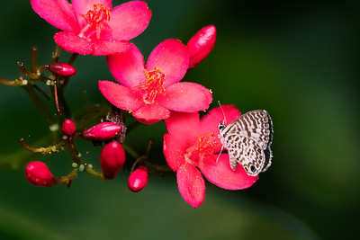 Blue Ceranus Butterfly on Jatropha flower