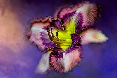 (F95) Hybrid Lily