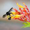 Bumble Bee on Firebush Flower (Hamelia Patens)