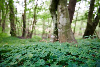 Klee auf dem Waldboden