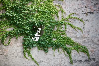 Efeu an grauer Wand