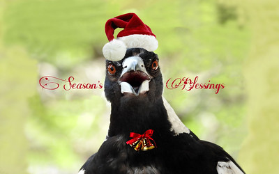 Season's Blessings From Mrs Magpie
