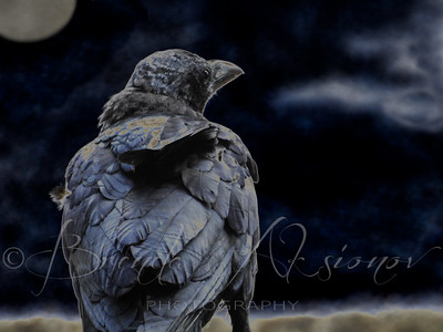 Crow In Moonlight Glow