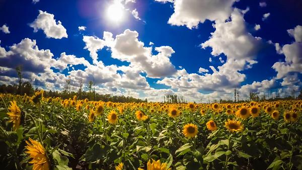 Sunflowers Timelapse Video
