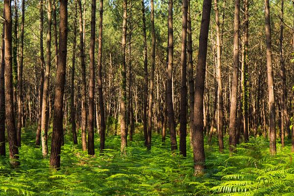 Seignosse Pine Forest