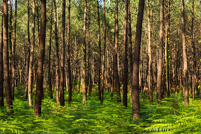 Seignosse Pine Forest