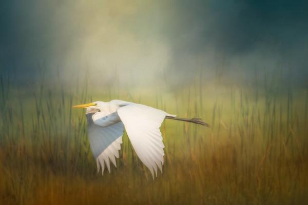 Egret in Flight - Creative Vision