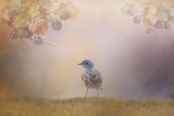 Western Bluebird - Creative Vision-4569