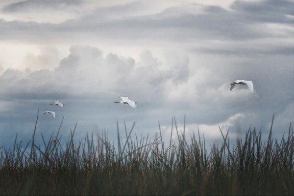 Egrets in Flight - Creative Vision