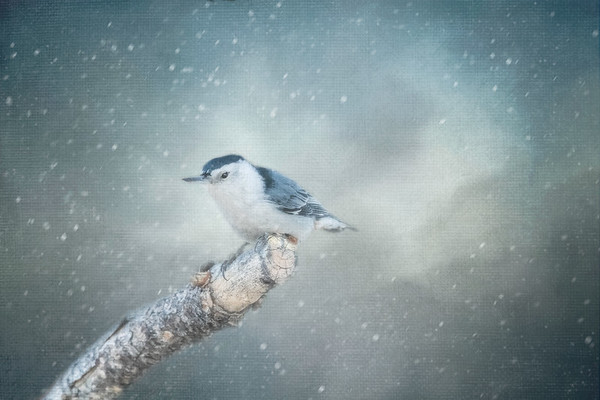 White Breasted Nuthatch - Creative Vision