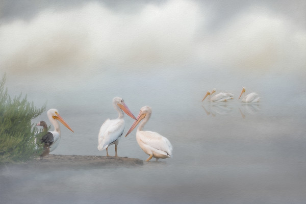 American White Pelicans - Creative Vision