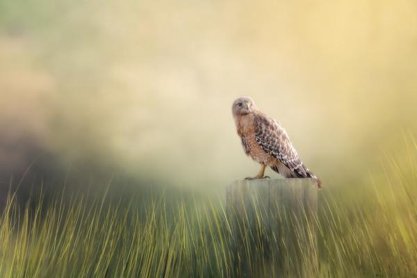 Red Shouldered Hawk - Creative Vision