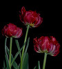 Red Tulips 01