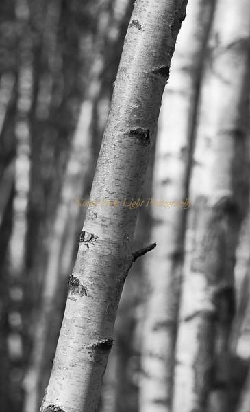 Birch bark