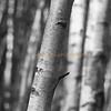 Birch Trees-Autumn