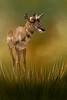 african prey animal DT-TallGrass (17)