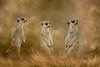 three meerkats composite with textures