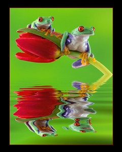 Two Red-Eyed Frogs Reflected