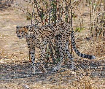 Cheetah on the hunt 244 207 300 dpi  8552.jpg