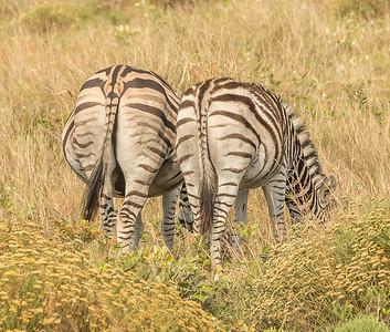 Zebra rumps