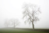 """Orton"" image of oak trees in mist, Derbyshire"