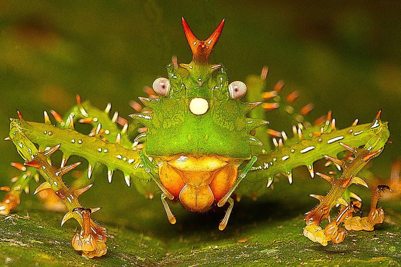 Manipulated image of a spiny devil katydid, Panacanthus cuspidatus, Napo, Ecuador