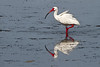 Posterized image of white ibis, Sanibel, Florida, USA.