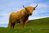 Posterized image of a Highland cow, Mull, Scotland