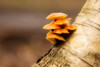 Velvet shank fungus, Flammulina velutipes, on birch, Skipwith Common, North Yorkshire, February.  Ortonised image