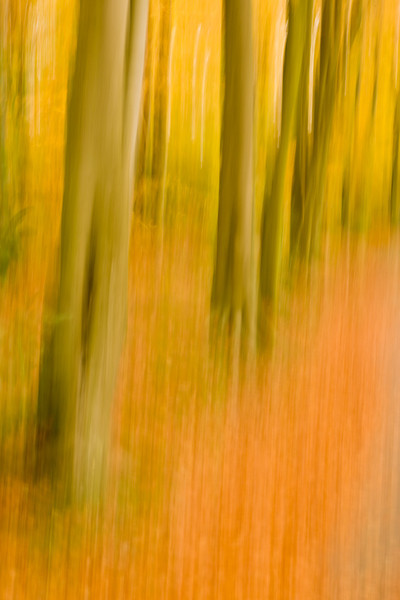Beech trees in autumn, abstract.  Polarising filter to enhance colour and ND filter to lengthen exposure time.