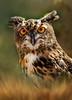 greate horned owl DT-WILDLIFEMASTERPIECES (1)